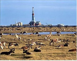Figure 3The Caribou have no problem with an existing well site.