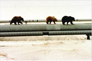 Figure 4The Bears don't mind walking on a pipeline.