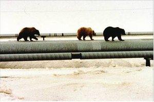 Figure 4The Bears don't mind walking on a pipeline.